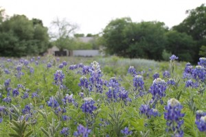 Native Texas Blue Bonnents