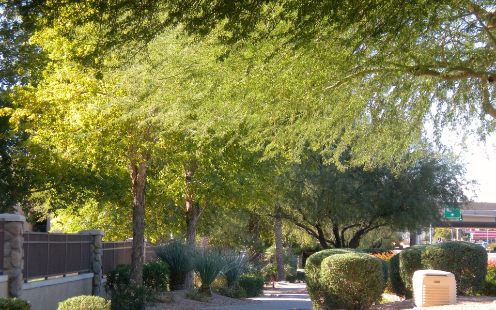 Street trees, Phoenix, Arizona