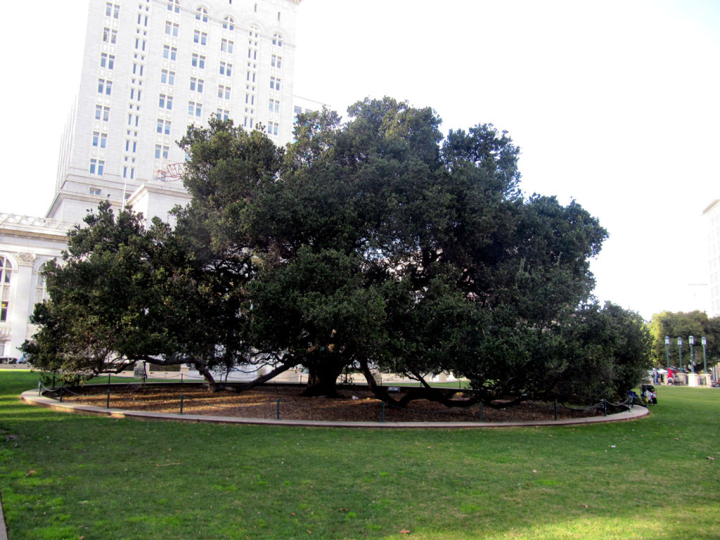 A symbol of Oakland's resiliency, at over 200 years old, one of the city's oldest and largest Oak trees in Frank Ogawa Plaza, downtown.