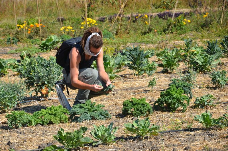 2012 Occupy the Farm Harvest of Gill Tract