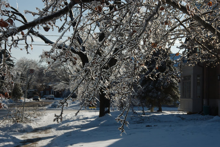 Branches weighed down by ice after the Dec 2013 Ice Storm in Toronto. Image by Mark Zaremba.