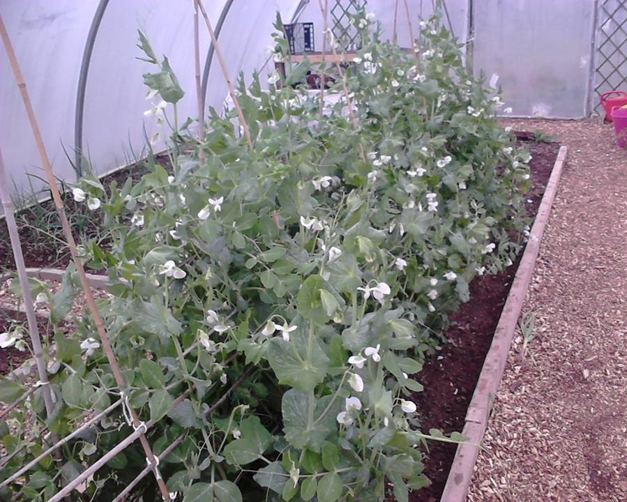 An example of planting in a polytunnel at Knocknaheeny Community Garden, Cork City, Ireland