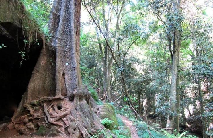A huge indigenous tree next to the Mau Mau Caves along one of the nature trails, Nairobi, Kenya