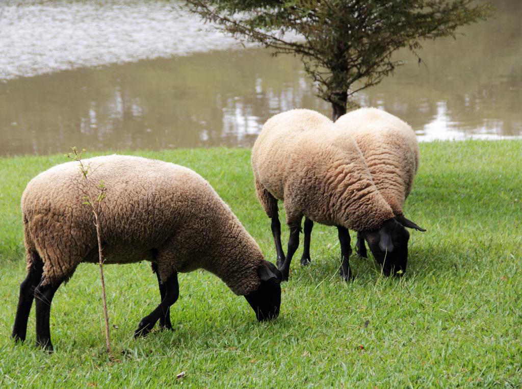 Sheep grazing in a park in Curitiba, Brazil
