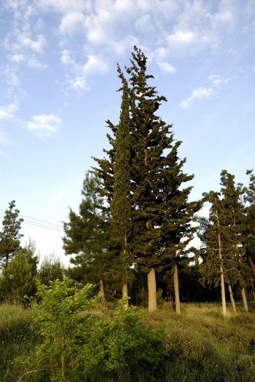 Trees in Sheikh Sou Forest, Thessaloniki, Greece