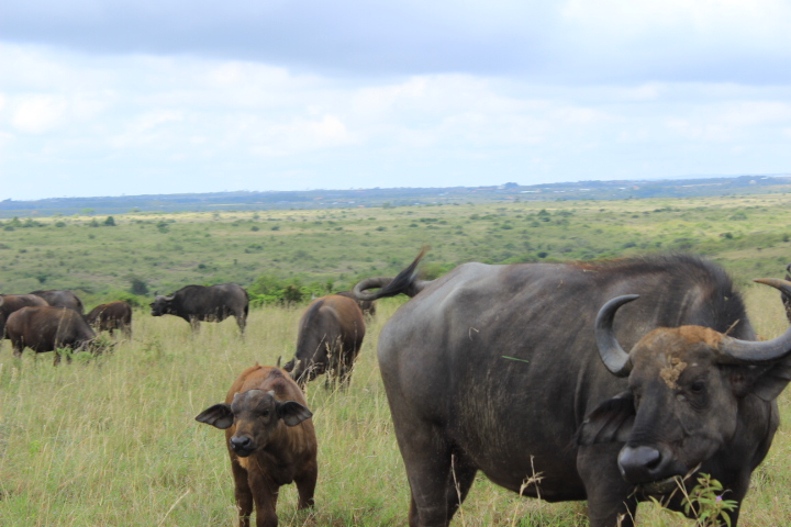 Buffaloes and calves, notice the human settlements in the background, Nairobi National Park, Kenya, Africa