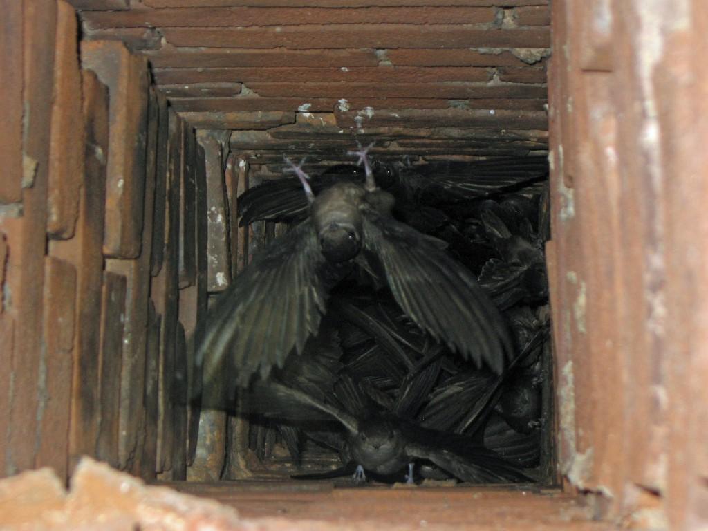 Chimeny Swifts nesting in chimney